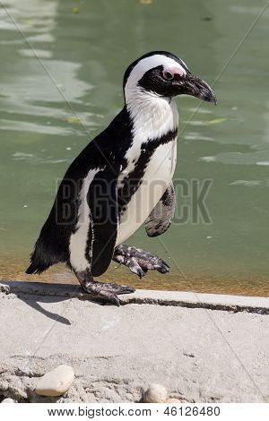 Spheniscus Demersus - African Penguin