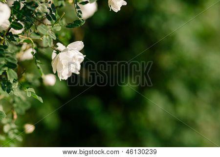 Spring Eglantine Bloom