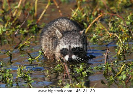 Baby Raccoon In A Stream
