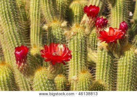 Rote Torch Kaktus hautnah