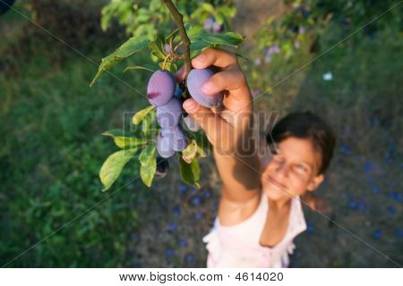 Young Girl Reaching The Plums From A Tree