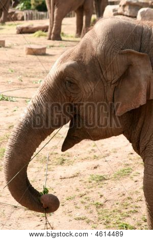 Asian, Asiatic, Indian Elephant Eating