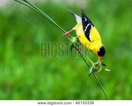 Goldfinch On A Stem In High Dynamic Range