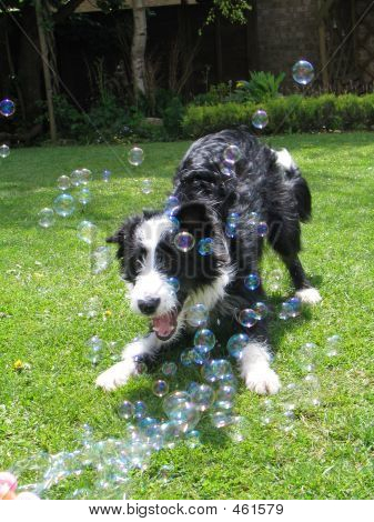 Dog Chasing Bubbles