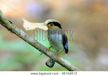 Male Silver-breasted Broadbill (serilophus Lunatus)