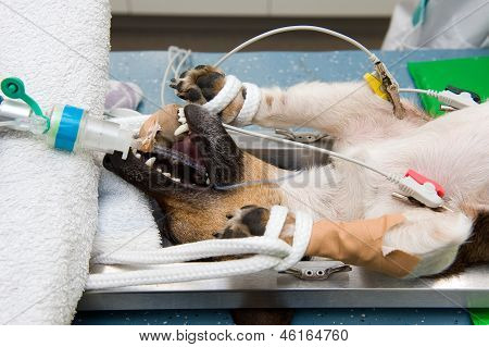 Een hond te steriliseren