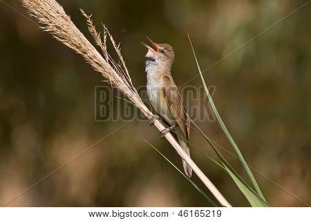 Great Reed Warbler Singing