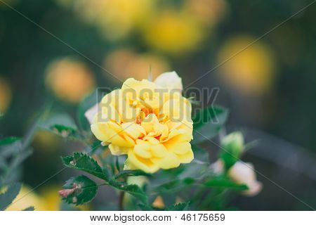 Yellow roses on a tree in the muffled tones