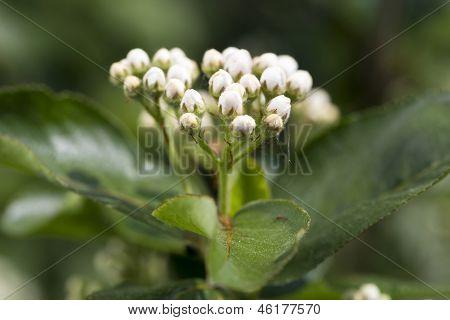 Inflorescence Chokeberry