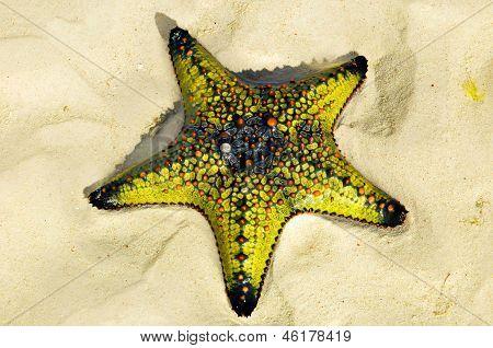 estrela do mar