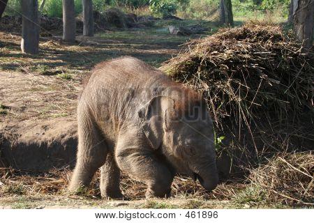 Baby Elephant - Nepal