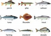 picture of shell-fishes  - fish photo realistic illustration detailed vector set - JPG