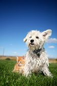 pic of cat dog  - A six week old kitten and a white terrier on lawn - JPG