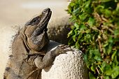 stock photo of lizard skin  - The big lizard is basked in the sun with open eyes - JPG