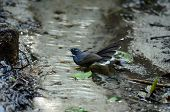 White-throated Fantail (rhipidura Albicollis)