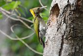 stock photo of woodpecker  - beautiful female Greater Yellownape woodpecker  - JPG