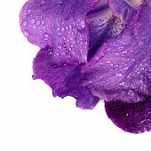 Petals Of A Violet Flower Of An Iris.