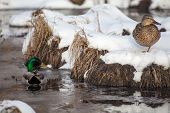 stock photo of male mallard  - A male mallard watches over a female mallard as she rests in the snow - JPG
