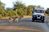 Lions crossing a road