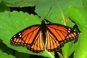 image of mimicry  - Viceroy Butterfly  - JPG