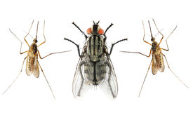picture of gnat  - Set of The House Fly  and The Anopheles Mosquito - JPG