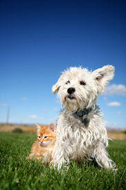 picture of cat dog  - A six week old kitten and a white terrier on lawn - JPG