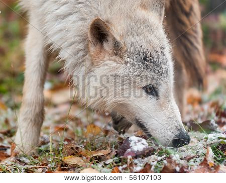 Blonde Wolf (Canis lupus) Sniffs Right Closeup