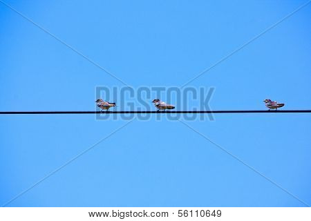 Swallows Perched On Overhead Electric Power Cable
