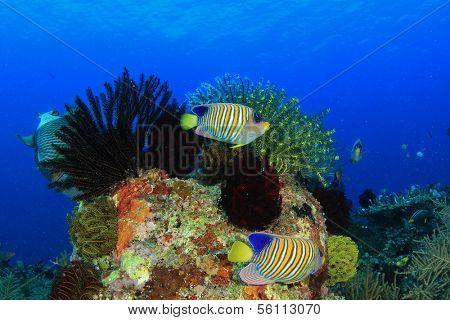 Underwater Coral Reef with Regal Angelfish