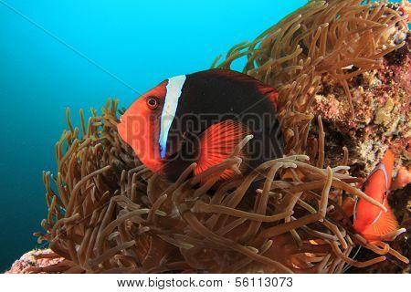 Pair of Tomato Anemonefish