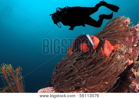 Scuba Diver and pair of Tomato Anemonefish