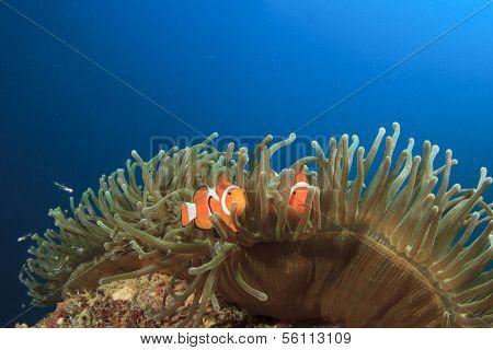 Clown Anemonefish in ocean