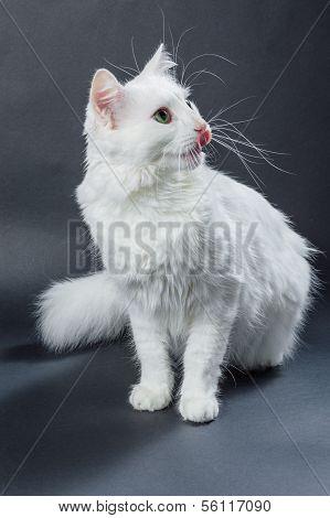 White Angora Cat