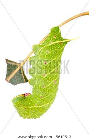 Hawkmoth Caterpillar On White