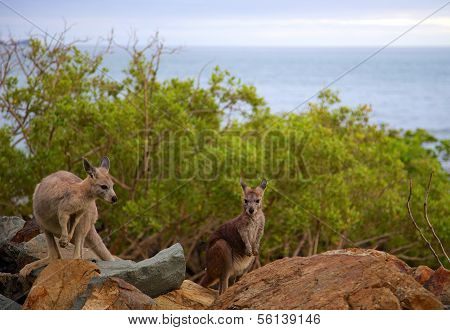 Wild Kangaroos On Rocks