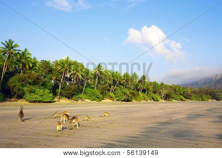 Kangaroos on Beach Cape Hillsborough Whitsundays