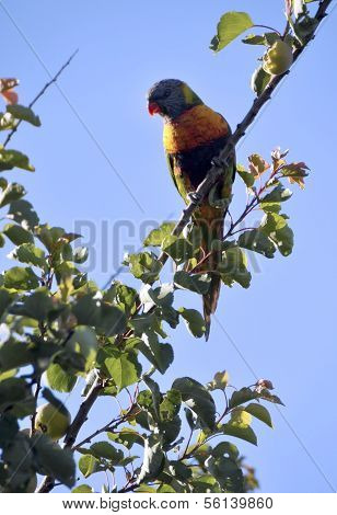 Australian Native Bird, Rainbow Lorikeet Parrot In Apricot Tree Against A Blue Sky In Early Morning