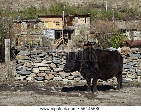 Very old bull
