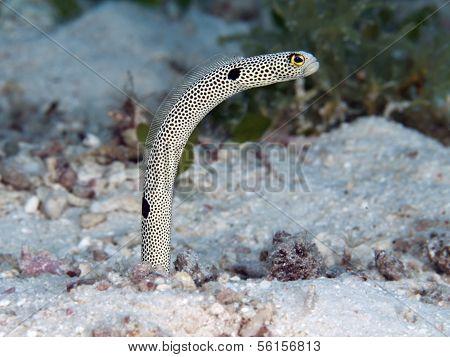 Spotted Garden-eel