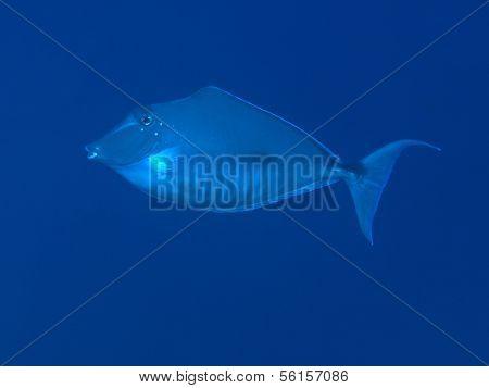 Humpback Unicornfish