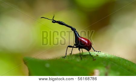 Endemic Giraffe weevil (Trachelophorus giraffa) on a green leaf. Madagascar