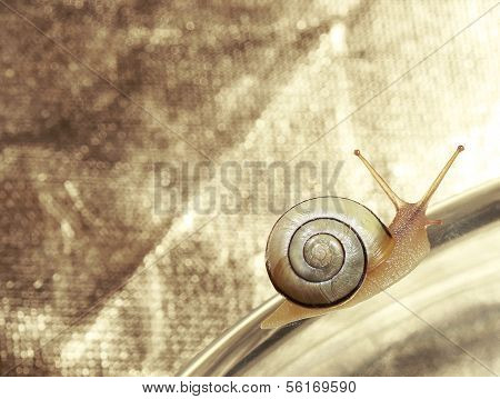 Common Garden Banded Snail Crawling On Metallic Background