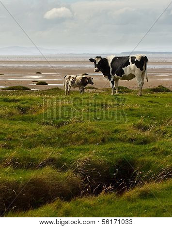 Holstein Friesians On The Solway