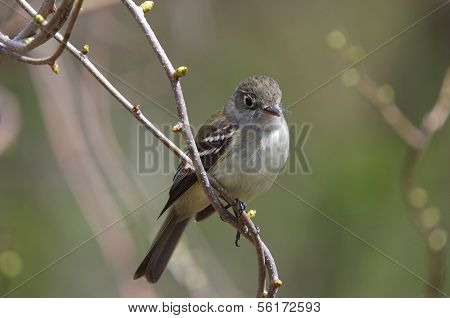Least Flycatcher ( Empidonax minimus)