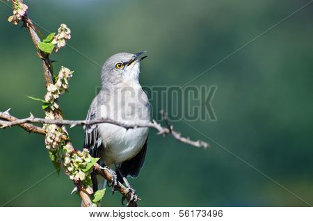 Singing Northern Mockingbird Perched In A Tree