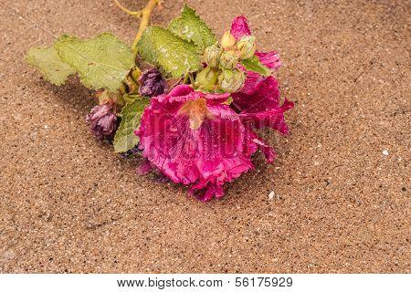 Letzte Blüten der Stockrose