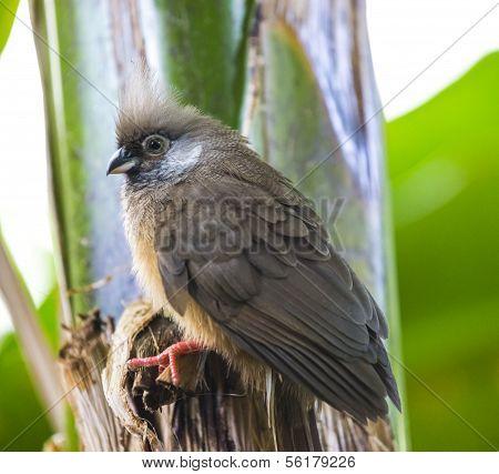 Speckled Mousebird Colius - Striatus