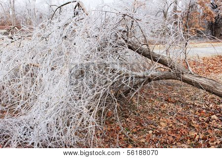 Large uprooted tree with ice dew on its branches