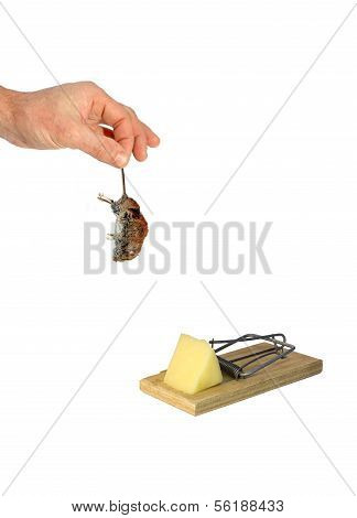 Dead Gray Mouse By The Tail Hangs In A Man's Hand Isolated