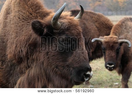 Male european bison in the autumn forest.